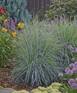 Versatile grasses like schizachyrium 'Twilight Zone' are multifunctional, thrive in a wide range of climates and blend well with perennials, natives and nativars.
