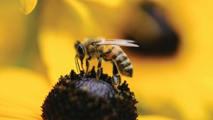 Studies Offer Conflicting Views On Neonic Effect On Bee Health