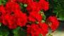 calliope dark red geranium