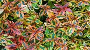 PlantHaven International Launches National Campaign To Promote Kaleidoscope Abelia