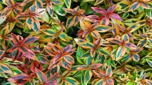 Kaleidoscope Abelia (Plant Haven International)