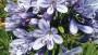 gapanthus DuchessofDazzle_featured