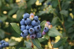 'BrazelBerries Perpetua' (Fall Creek Farm & Nursery)