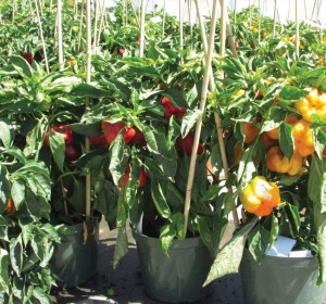 'Admiral Crusader' Peppers In 10-inch Pots