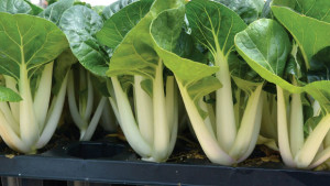 The Intrigue Of Edible Petiole  Crops For Hydroponic Production