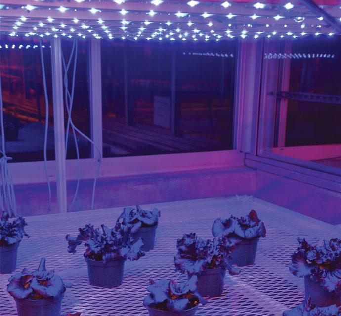 Figure 1a. Lettuce under light-emitting diode (LED) arrays providing (a) monochromatic blue light (0:100 (%) red:blue)