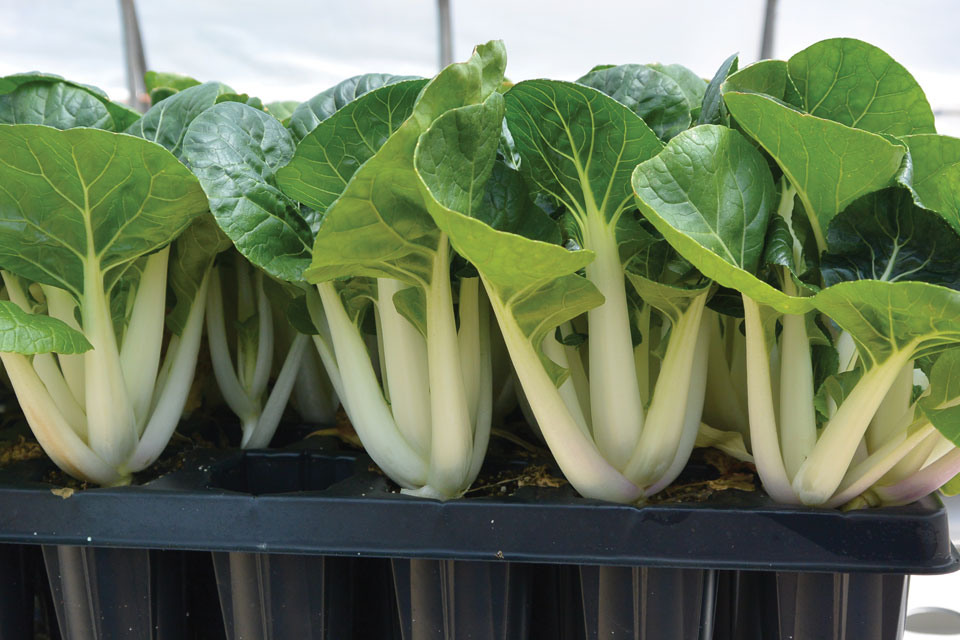 Figure 1. Pak Choi grown in a deep plug tray on a flood and drain bench.