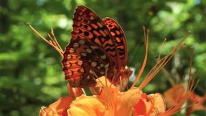 The Butterfly Effect: Insect's Wings Key To Azalea Pollination