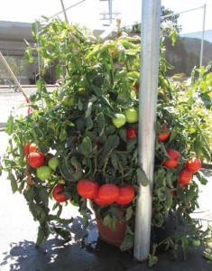 'Rocky Top' Tomatoes In 14-Inch Pots