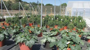 Vegetable Trials Test  Variety Adaptability  In Containers