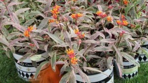 hort couture_Asclepias Monarch's Promise_featured