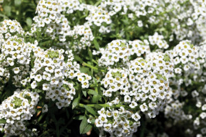Tetraploid Alyssum 'North Face' (Floranova)