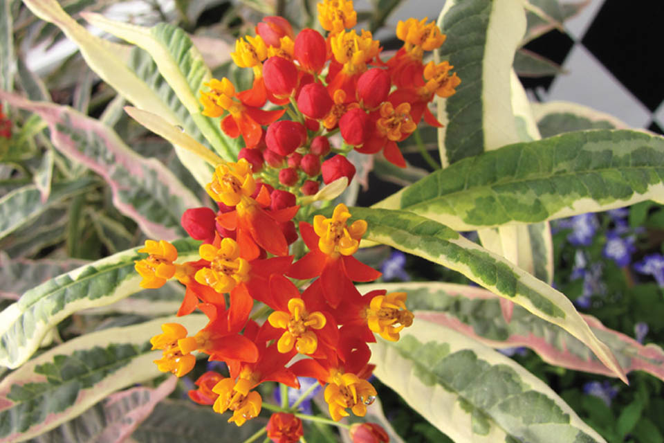 Asclepias 'Monarch Promise' (Hort Couture)