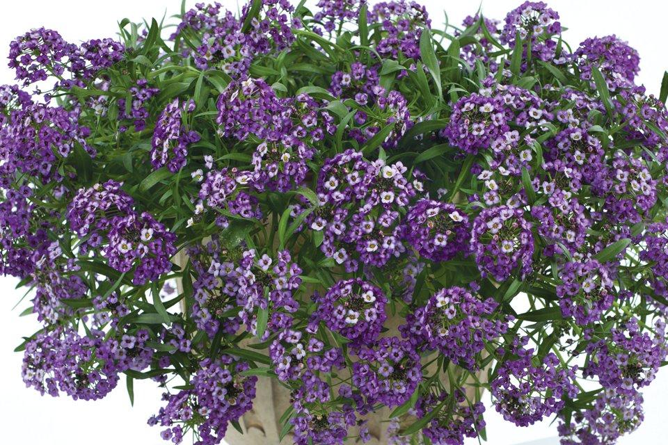 Lobularia 'Lavender Stream'