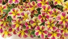 Calibrachoa 'Superbells Holy Moly!' (Proven Winners)