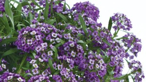 Greenhouse Growing Recommendations For Lobularia