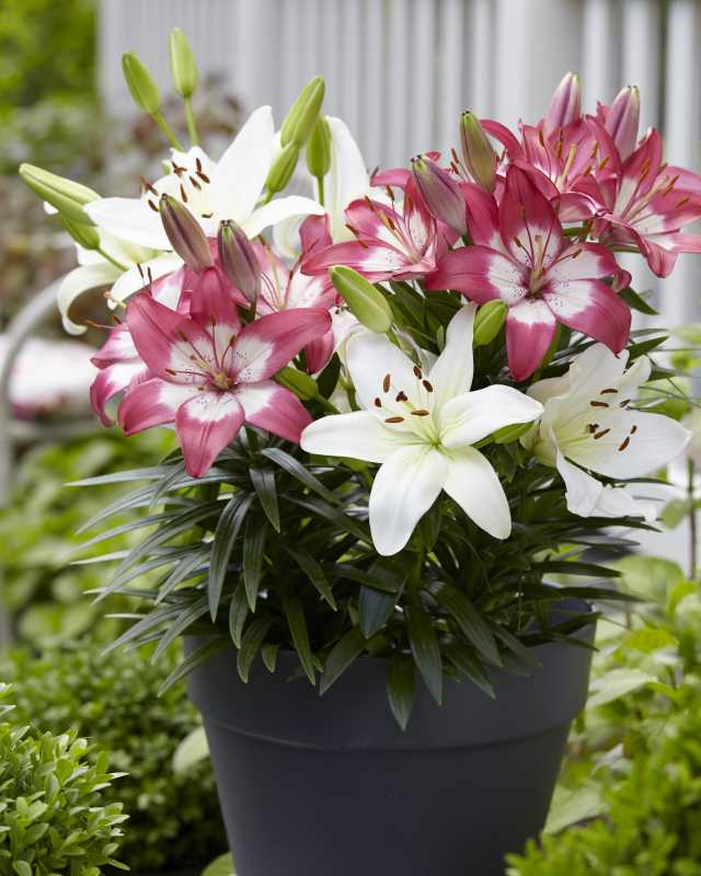 Asiatic Lily Overjoyed Series, On Cloud Nine Mix (Flamingo Holland)