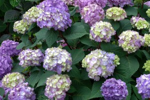 Hydrangea Endless Summer Bloomstruck Bailey Nurseries