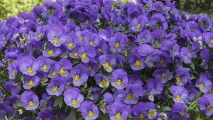 Pansy 'Cool Wave Blue Skies' (Wave)