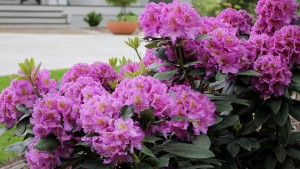 Spring Meadow Nursery Partnering With Proven Winners Europe To Introduce New Flowering Shrubs