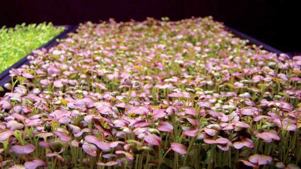 Figure 1. Mustard microgreens grown under sole-source (SS) lighting using light-emitting diode (LED) arrays.