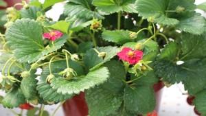 New 2015 California Spring Trial Edibles For The Patio And Garden