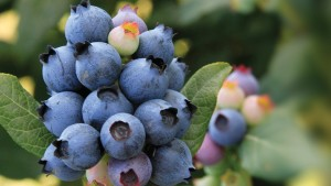 Why Star Roses And Plants Is Buying The BrazelBerries Program From Fall Creek Farm And Nursery