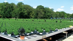 Biocontrols and beneficials absolutely can be used in outdoor production, with the use of banker plant systems
