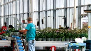 "Employees separate the plants by stem count, bud development and height. ""This process allows us to respond more quickly to specific requests from customers,"" Van Wingerden says"