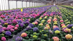 AgriNomix Helps Keepsake Plants Cut Labor Costs With Automated Trimming