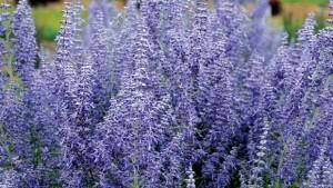 The Recipe For Growing Beautiful Perovskia
