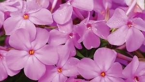 Phlox 'Forever Pink' (Green Leaf Plants)