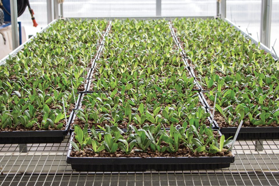 The first of the camera grades is incorporated into the transplant process, which involves placing the Orchids from a community tray