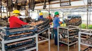 Workers at Golden State Bulb Growers clean Calla tubers and select the best quality bulbs, placing them on conveyors to be graded, counted and sorted in the new system