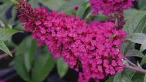 Buddleja davidii 'Buzz Hot Raspberry' (Cultivaris)