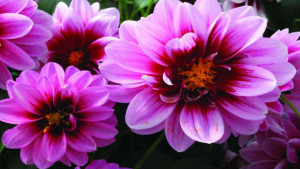 Dahlia Production Tips For High Quality Greenhouse Plants