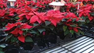 Using Bench Top Heating With Reduced Air Temperature During Poinsettia Cold Finish