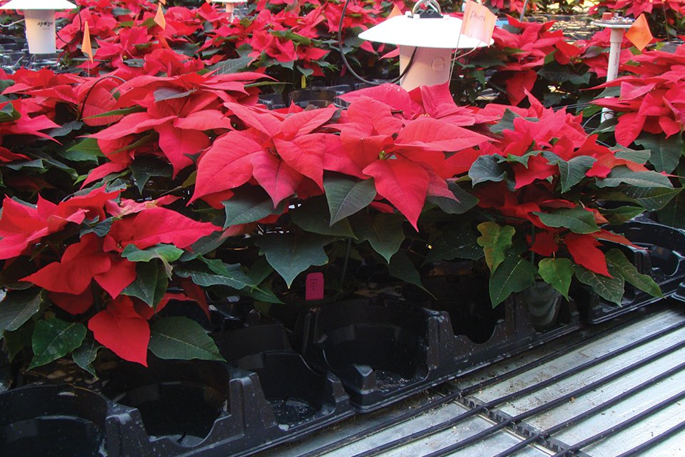 Figure 1. Poinsettias growing on bench-top root-zone heating at Purdue University.