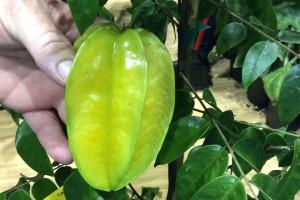 Tropical Fruit Tree Selection (Hopkins Tropical Fruit Nursery)