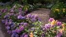 Hydrangea Test Garden Heritage Museums