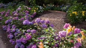 New Hydrangea Test Garden Announced For Heritage Museums And Gardens In Massachusetts