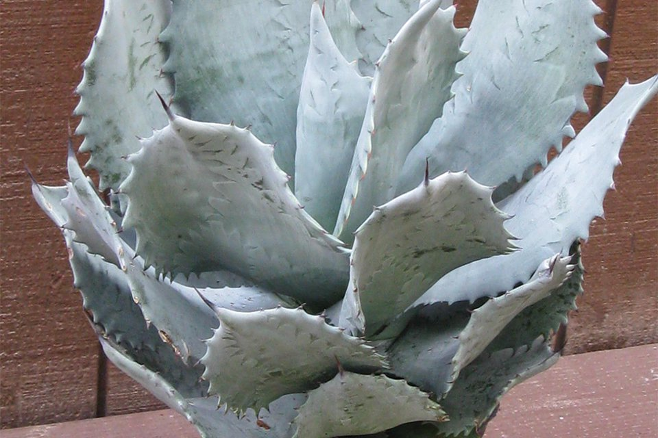 Agave 'Blue Waves' (Rancho Tissue Technologies)