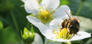 Bee Vectoring Technology Bumblebee