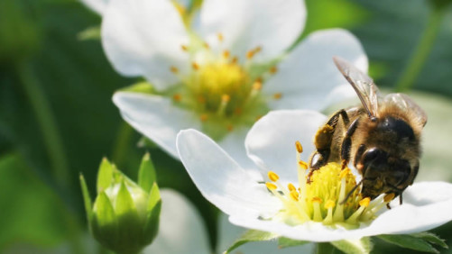 Novel Bee Pollination Possibilities Get Boost from New Partnership
