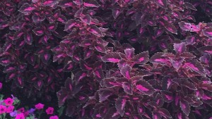 Coleus 'Colorblaze Velveteen' (2015 University of Tennessee Field Trials)