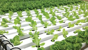 How To Choose The Right Hydroponic Production System For Growing Basil