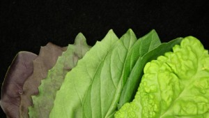 Managing Electrical Conductivity (EC) For Hydroponic Basil Production