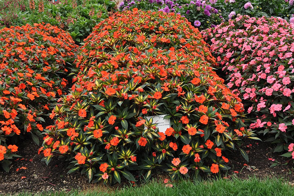 Impatiens 'SunPatiens Spreading Tropical Orange' (2015 Colorado State University Field Trials)