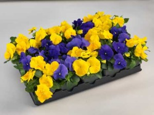 Pansy Culture Notes: Pansy Grandio Series