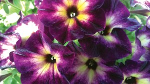 Petunia 'Moonstruck' (2015 Welby Gardens Field Trials)